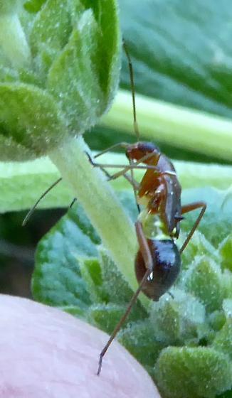 insect - Closterocoris amoenus