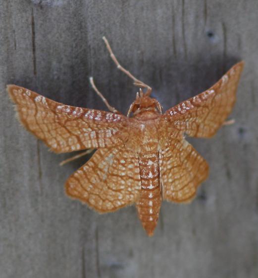 Moth in Sanibel - Hexeris enhydris