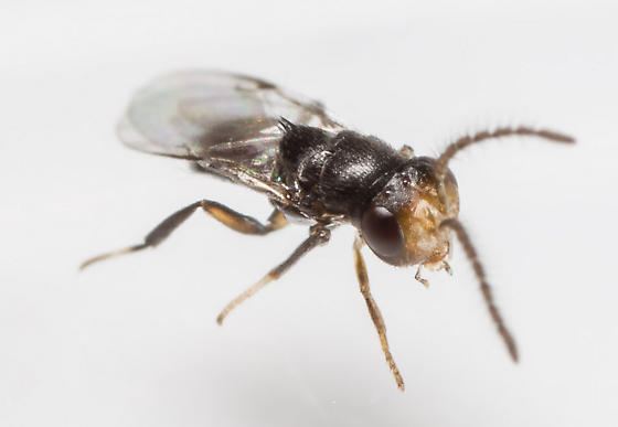 Small Wasp - Encyrtus