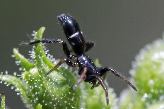 ground spider - female