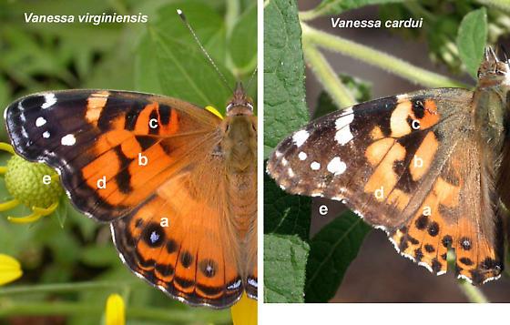 Vanessa virginiensis and cardui--dorsal view - Vanessa