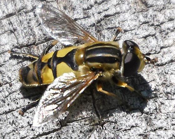 Helophilus - Helophilus latifrons - male
