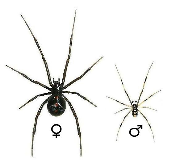 Guide Plate for the Southern Black Widow - Latrodectus mactans