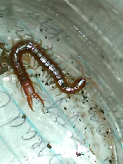 Texas Centipede - Theatops posticus