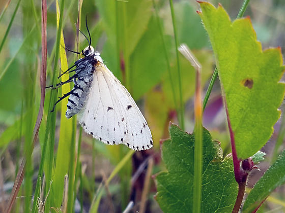Unknown butterfly from extreme southeastern Manitoba - Cingilia catenaria