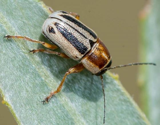 Short-headed Leaf Beetle - Pachybrachis bivittatus
