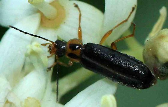 unknown beetle (?Cantharidae) - Osphya varians
