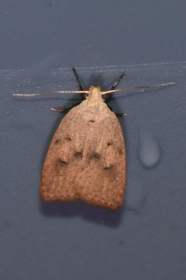 Unknown Moth - Machimia tentoriferella