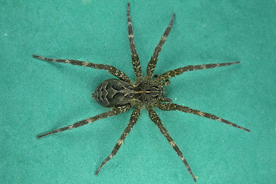 Nursery Web Spiders - Dolomedes scriptus