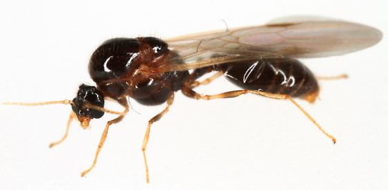 Reproductive ant - Solenopsis