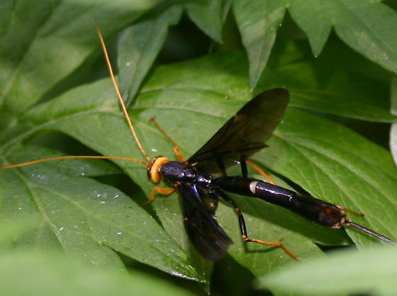 Long tailed wasp - Megarhyssa atrata - female