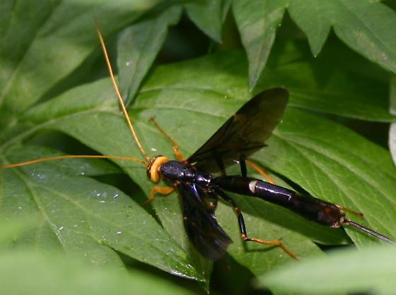Long tailed wasp - Megarhyssa atrata - female
