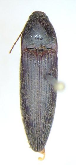 Melanotus  - Melanotus depressus - male
