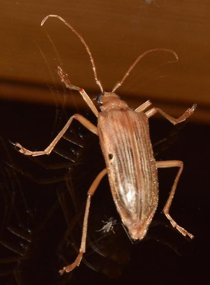 Saltspring beetle - Centrodera spurca