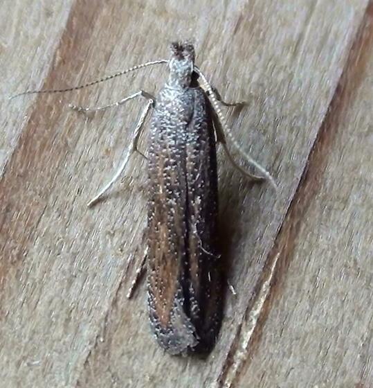 Gelechiidae: Unknown Specimen - Isophrictis