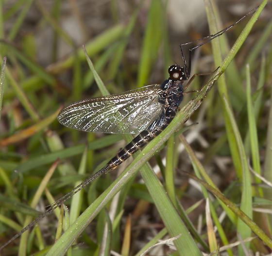 Mayfly IMG_6341 - Leptophlebia