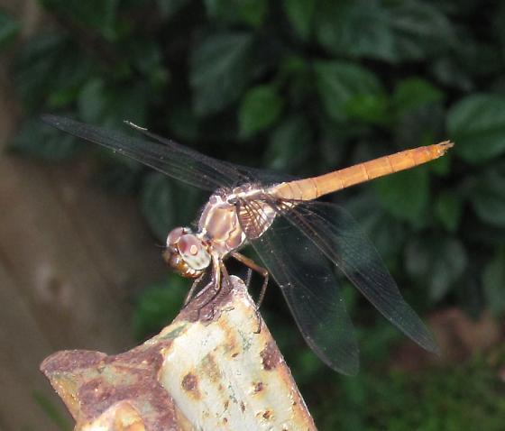 Dragonfly - Orthemis ferruginea - male