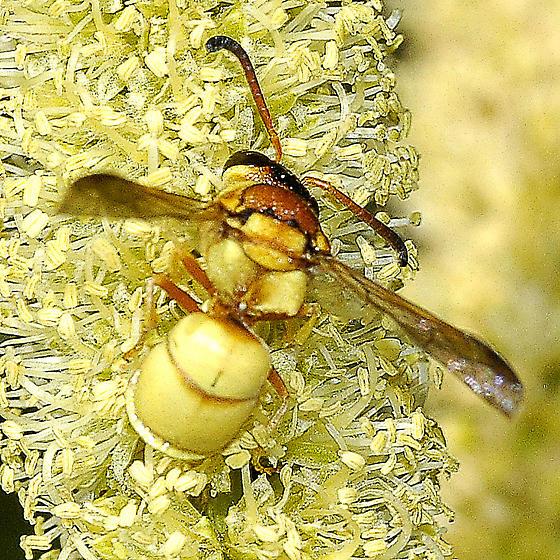 Euodynerus, golden - Euodynerus auranus - male