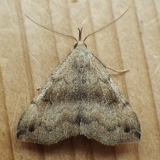 Erebidae: Phalaenostola eumelusalis - Phalaenostola eumelusalis - male