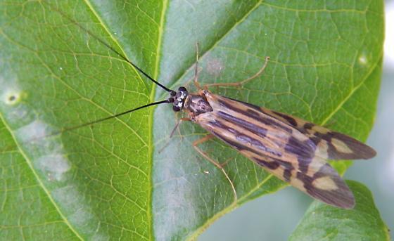 Some type of moth? - Macrostemum zebratum