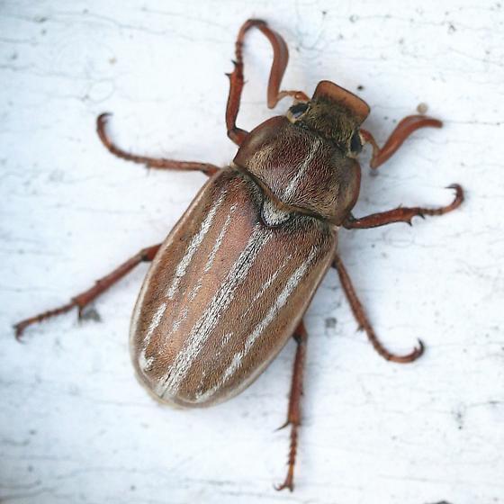 Polyphylla occidentalis? - Polyphylla occidentalis - male
