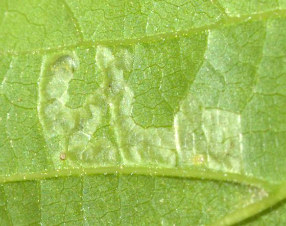 Hackberry Leaf Miner [Phyllonorycter celtisella?] ID Request - Agromyza aristata