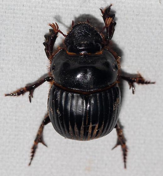 This looks like Dichotomius carolinus to us - Dichotomius carolinus