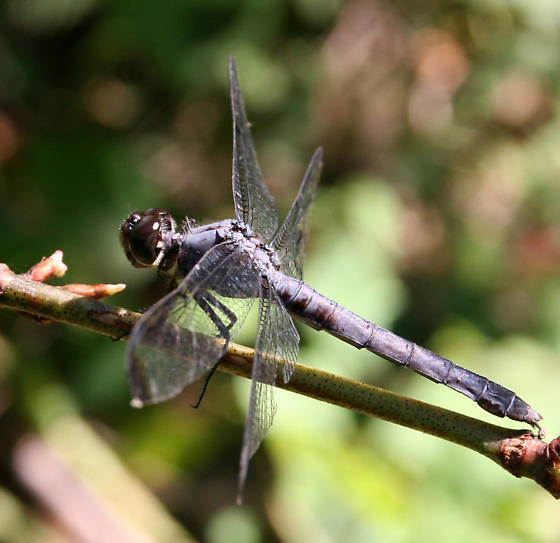 Which Dragonfly? - Libellula incesta - female