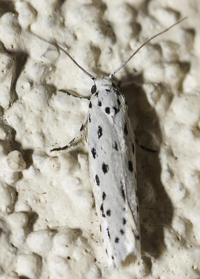 Another cute little guy - Ethmia apicipunctella