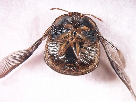 Plataspidae  Megacopta cribraria - Megacopta cribraria