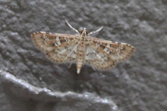 Crambid Moth - Samea