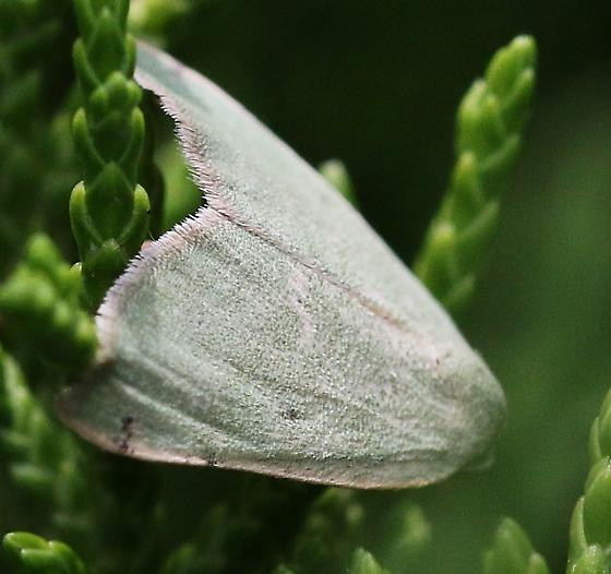 moth, pale green - Chloraspilates bicoloraria