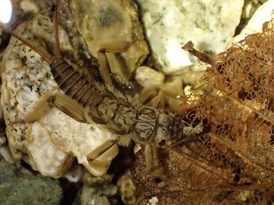Stonefly larva - Calineuria californica