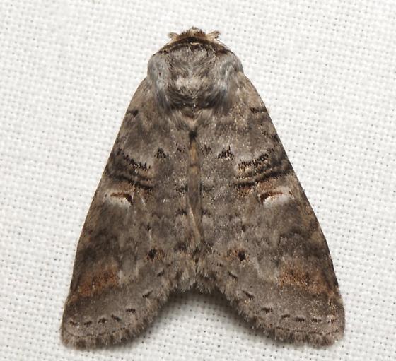 Notodontidae, Linden Prominent - Ellida caniplaga