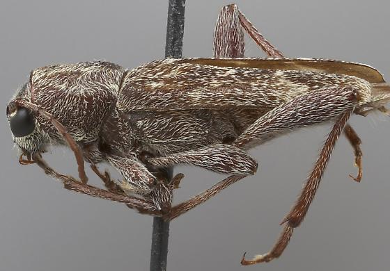 Xylotrechus hovorei