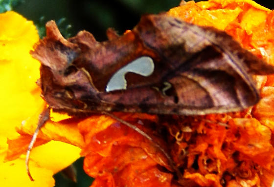 Bilobed looper - Megalographa biloba