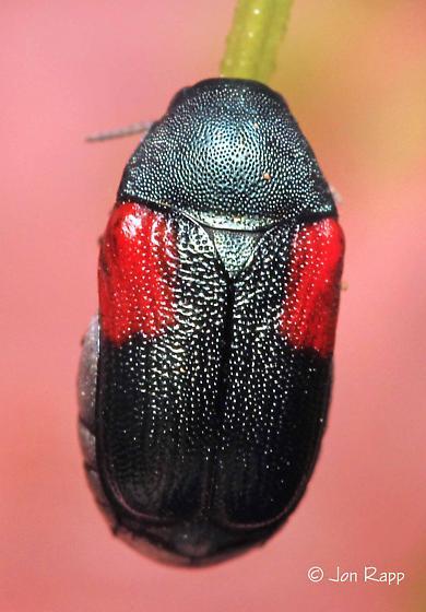 Leaf Beetle - Saxinis sonorensis