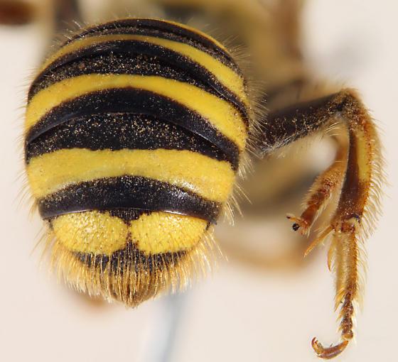 Calliopsis zebrata bobbae F - Calliopsis zebrata - female