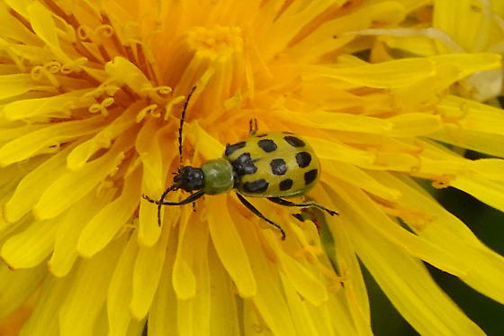 Western Spotted Cucumber Beetle -  Diabrotica undecimpunctata undecimpunctata ? - Diabrotica undecimpunctata