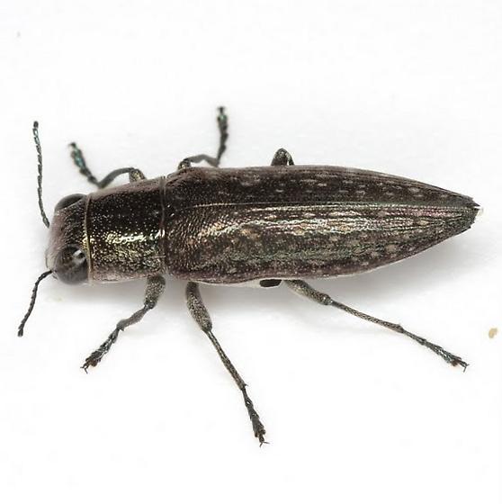 Spectralia prosternalis (Schaeffer) - Spectralia prosternalis