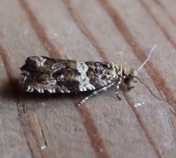Tortricidae: Olethreutes? - Celypha cespitana