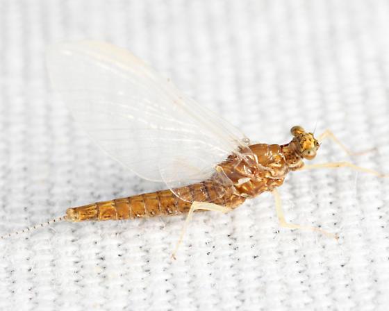 Mayfly - Eurylophella - female