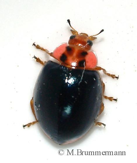 Neoharmonia venusta (V-marked Lady Beetle)? - Neoharmonia venusta