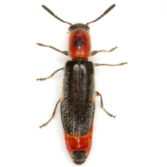Monophylla terminata (Say) - Monophylla terminata - female