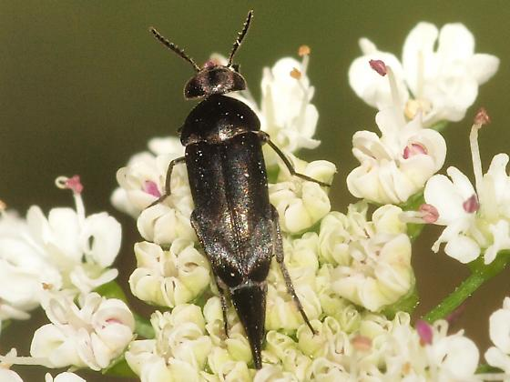Beetle - Mordella hubbsi