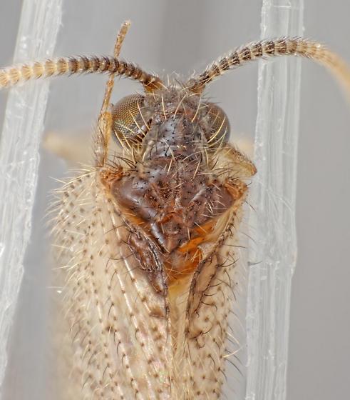 Sympherobius - Sympherobius amiculus
