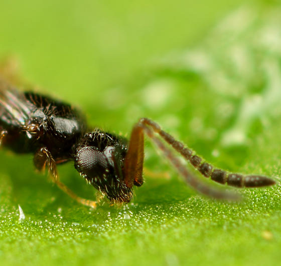 Wasp ID - Ceraphron