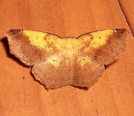Variable Antepione - Hodges#6987 - Antepione thisoaria