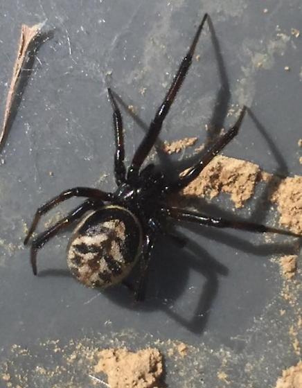 Steatoda albomaculata? - Steatoda - female