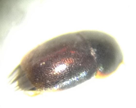 Ptiliidae - Acrotrichis